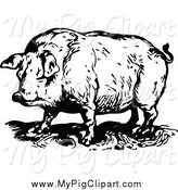 Swine Clipart of a Black and White Chubby Pig by Prawny Vintage