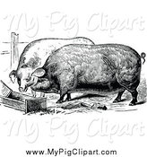 Swine Clipart of Black and White Farm Pigs Eating by Prawny Vintage