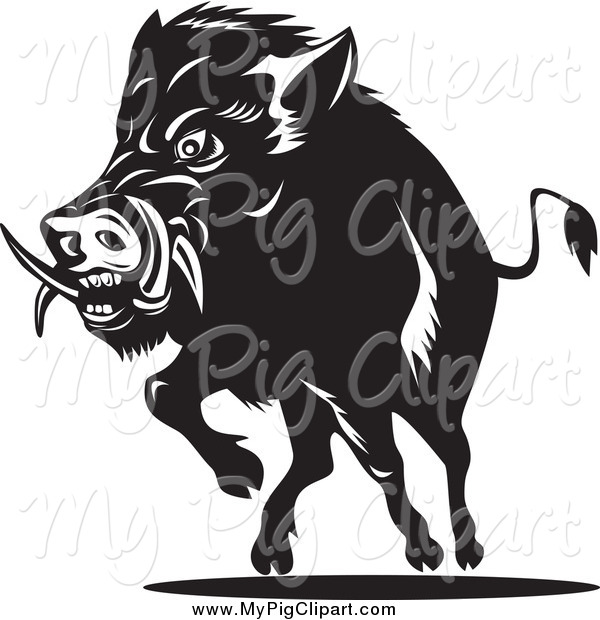 Swine Clipart of a Black and White Charging Wild Boar